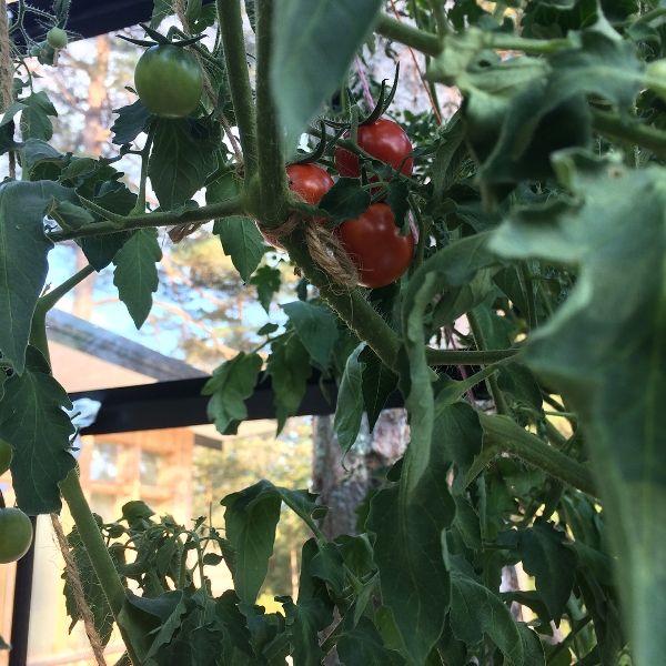 A Tomato Plant In Greta Thunberg's Own Garden